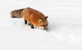 Red fox vulpes vulpes stalks snow captive animal Royalty Free Stock Image