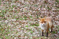 Red fox vulpes vulpes standing an looking towards the camera Royalty Free Stock Image