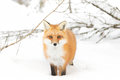 Red fox Vulpes vulpes standing in the snow in Algonquin Park in winter Royalty Free Stock Photo