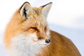 Red Fox - Vulpes vulpes Royalty Free Stock Photo