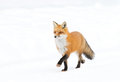 Red fox Vulpes vulpes walking down a road in winter Royalty Free Stock Photo