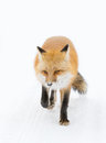 Red fox Vulpes vulpes walking down a winter road Royalty Free Stock Photo