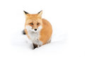 Red fox Vulpes vulpes in winter Royalty Free Stock Photo