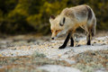 Red fox a walking on a jersey shore sand dune Stock Photos