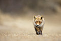 Red fox walks towards the photograhper Royalty Free Stock Images