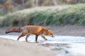 Red fox a in the water Stock Photos