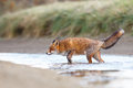 Red fox a in the water Stock Image