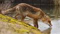 Red fox wet drinking water Stock Photo