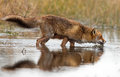 Red fox wet drinking water Royalty Free Stock Image