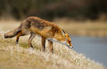 Red fox wet stand near a water Stock Image