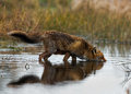 Red fox wet takes a waterdip Royalty Free Stock Photos