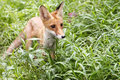 Red fox wild young in a forest Stock Image