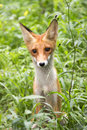 Red fox wild young in a forest Royalty Free Stock Photos