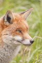 Red fox in a wildlife centre Stock Photos