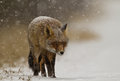 Red fox in a winter setting Stock Image