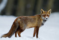 Red fox in a winter setting Stock Photography
