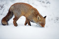 Red fox in a winter setting Royalty Free Stock Image