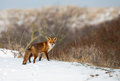 Red fox in a winter setting Royalty Free Stock Photography