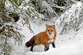 Red fox in winter snow pine tree forest and biological family canidae Royalty Free Stock Photography
