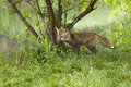Red fox in the woods young a secluded wooded area Stock Image