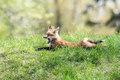 Red Fox yawning on a grassy hill Royalty Free Stock Photo