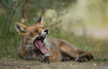 Red fox yawning on the ground Stock Images