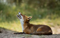 Red fox ylooks up to the sky Royalty Free Stock Photos