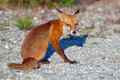 Red fox young on a dirt road looking at photographer Stock Images