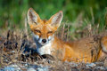Red fox young lying along the road Royalty Free Stock Photography