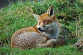 Red fox young relaxing in the spring sunshine Royalty Free Stock Images