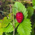 Red Fragaria Or Wild Strawberry on branch with leaf macro, selective focus, shallow DOF Royalty Free Stock Photo