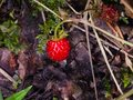 Red Fragaria Or Wild Strawberry on branch macro, selective focus, shallow DOF Royalty Free Stock Photo