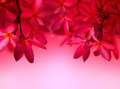 Red Frangipani flower on pink background Royalty Free Stock Photo
