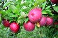 Libero mele