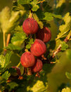 Red fresh gooseberry berries on branch Stock Photography