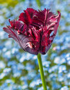 Red fringed tulip head against blurry background Royalty Free Stock Photo