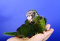 Red fronted kakariki parakeet baby month on blue background Royalty Free Stock Photo
