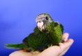 Red fronted kakariki parakeet baby month on blue background Royalty Free Stock Photo