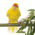 Red-fronted Kakariki parakeet Royalty Free Stock Photo
