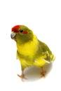 Red fronted kakariki parakeet isolated on white cyanoramphus novaezelandiae cinnamon motley colored Royalty Free Stock Image