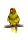 Red fronted kakariki parakeet isolated on white cyanoramphus novaezelandiae cinnamon motley colored Stock Photography