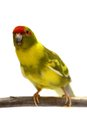 Red fronted kakariki parakeet isolated on white cyanoramphus novaezelandiae cinnamon motley colored Stock Photo