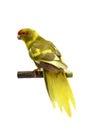 Red fronted kakariki parakeet isolated on white cyanoramphus novaezelandiae cinnamon motley colored Stock Image