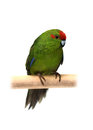 Red-fronted Kakariki parakeet on white Stock Photography