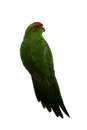 Red fronted kakariki parakeet on white cyanoramphus novaezelandiae isolated Stock Photography