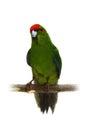 Red fronted kakariki parakeet on white cyanoramphus novaezelandiae isolated Royalty Free Stock Photos