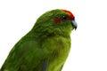 Red fronted kakariki parakeet on white cyanoramphus novaezelandiae isolated Stock Photo