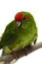 Red fronted kakariki parakeet on white cyanoramphus novaezelandiae isolated Royalty Free Stock Image