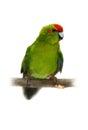 Red fronted kakariki parakeet on white cyanoramphus novaezelandiae isolated Stock Image