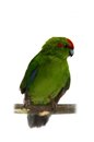 Red fronted kakariki parakeet on white cyanoramphus novaezelandiae isolated Royalty Free Stock Images